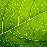 Ubrousky  Leaf Close Up