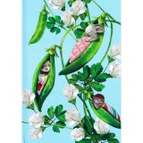 Notes Narcissus Pea Pods