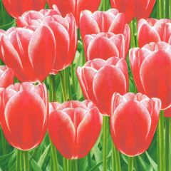Papírový ubrousek Red Tulips Power